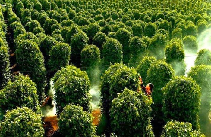 Peppers garden in Phu Quoc